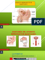 SEMANA 13   ANATOMIA DEL APARATO REPRODUCTOR MASCULO.pdf