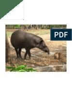 Wild Relative of Elephant