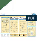 DNA Repair Pathways Poster