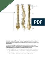 1. Anatomia columna y medula espinal.docx