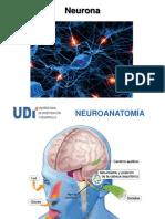 Celulas Nerviosas ok.pdf