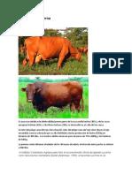 razas de vacas.docx