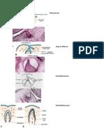 tahap pembentukan gigi.docx