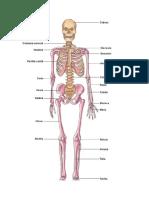 sistema muculo esqueletico.docx