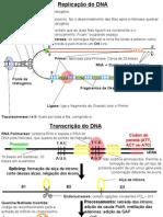 Replicação e Transcrição do DNA