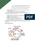 Análisis Ciclo Celular.docx