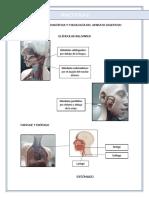 Informe de Bio-lab/ APARATO DIGESTIVO