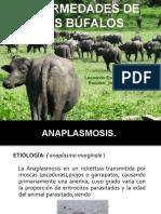 enfermedades bufalos