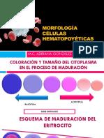 morfología de celulas medulares.pdf