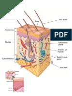 g.anatomy1