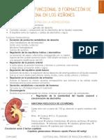 Cap. 26 Anatomía funcional y formación de orina en los riñones