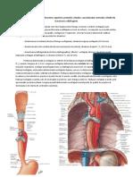 II. 7. Esofagul abdominal