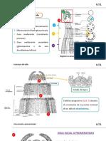 Clase 4-2018 Anatomía del tallo (1)