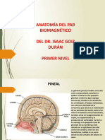 Anatomia Del Par Biomagnetico Nivel 1