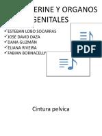 PELVIS, PERINE Y ORGANOS GENITALES