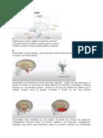 taller cerebrin