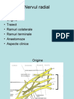 nervul radial (1)