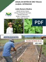 PROPAGACION SEXUAL DE BOTON DE ORO Tithonia diversifolia (1)