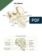 Osteología del cráneo