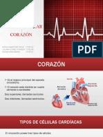 SISTEMA CARDIOVASCULAR histologia (2)