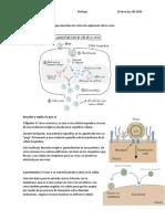 Biología Elabora un diagrama en el que describas los ciclos de replicación de los virus