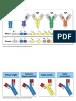 Aula 10 -Ativação da célula B e produção de anticorpos