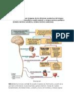 divisiones anatómicas del sistema nervioso.
