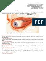 musculos oculares