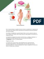 En el cuerpo humano se registran diversos niveles de organización