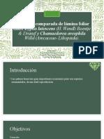 Anatomía Comparada de lámina foliar entre Chamaedorea oreophila y Dypsis lutescens nvodd 2