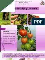 6 Maduración y Cosecha-1580277304