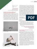 Spot-billed pelican in Nepal