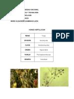 Hongo Verticillium