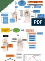 Músculos expancion y contraccion pulmonar