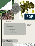 Podophyllum peltatum.pptx