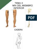 TEMA X ANATOMÍA DEL MIEMBRO INFERIOR