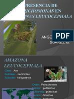 trichomonas en Amazonas leucocephala