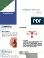 ovarios y testiculos