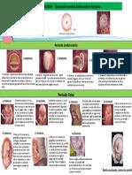 EMBRIOLOGIA  - Desenvolvimento Embrionário Humano 2