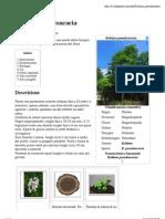 Robinia Pseudo Acacia - Wikipedia