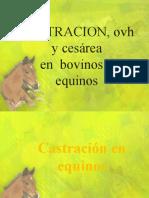castracion en equinos y bovinos