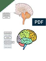 cerebro inferior