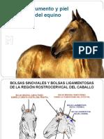 1. Piel y anexos equino pptt.pdf