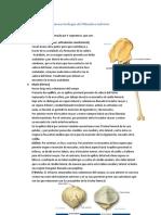 Osteoartrología del M i