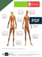 sistemamuscularle