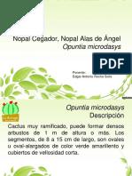 PM001-Opuntia microdasys.pdf