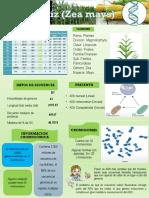 Infografia sobre Maíz