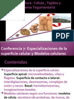 Conferencia 6 Especilizaciones y modelos celulares
