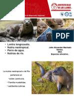Lontra longicaudis. Especie Silvestre