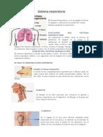 Sistema respiratorio1